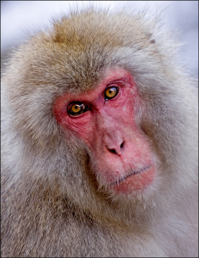 6080 snow monkey portrait ENL.jpg