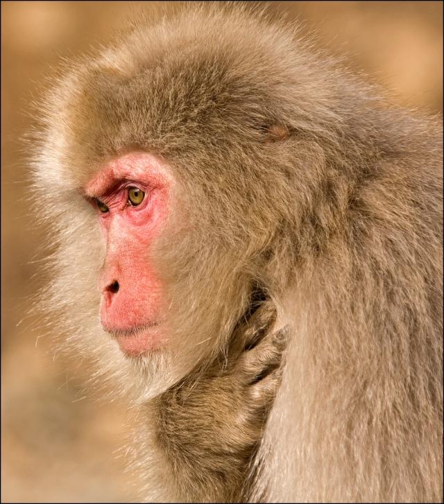 6228-snow-monkey-macaca-fuscata