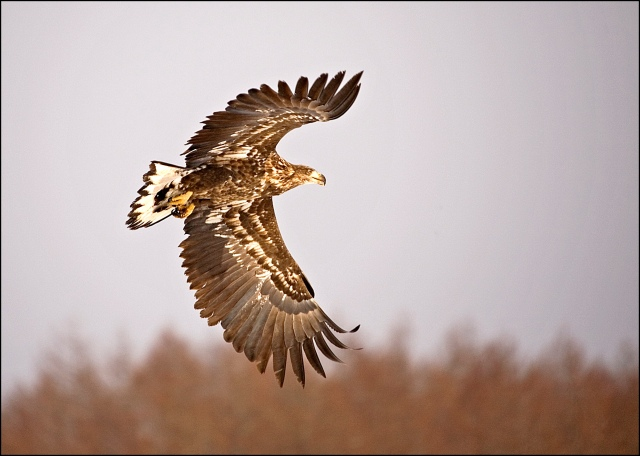 6784 white tailed eagleHALIAEETUS ALBICILLA.jpg
