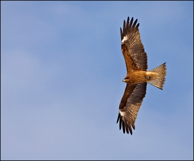 6981-flight-of-the-black-kite