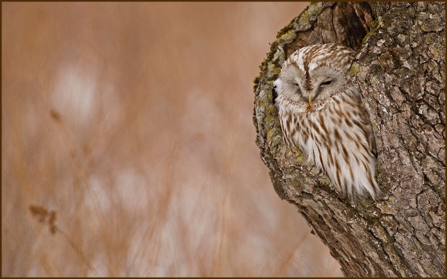 7174 ural owl 13 x 91000  for exhibition.jpg