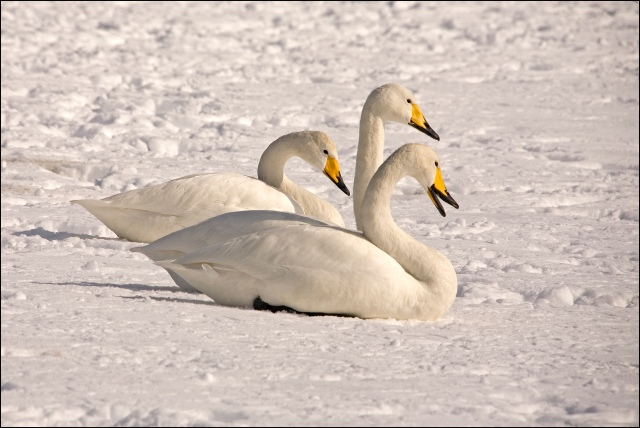 7479-three-whooper-swans-in-the-snow