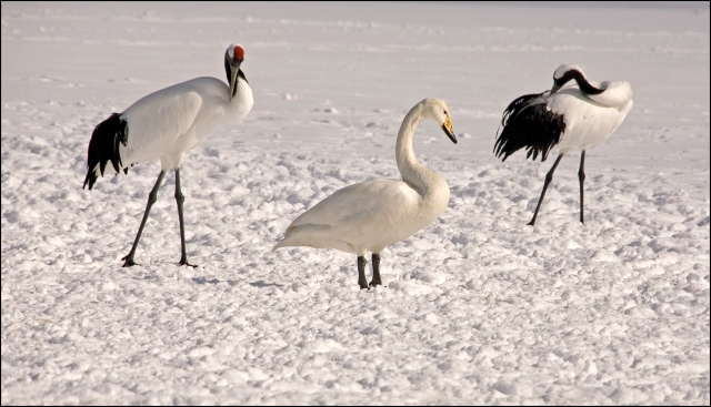 7490-two-cranes-one-whooper