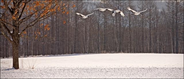 7835 four cranes in flight by beech tree.jpg
