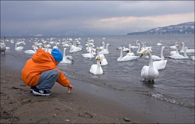 8088 feeding the swans.jpg