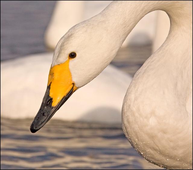 8199 close up swan water on breast.jpg