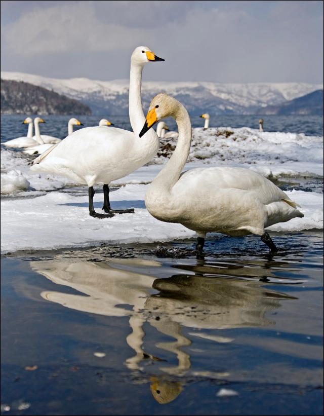 8385 swans rippled reflection.jpg