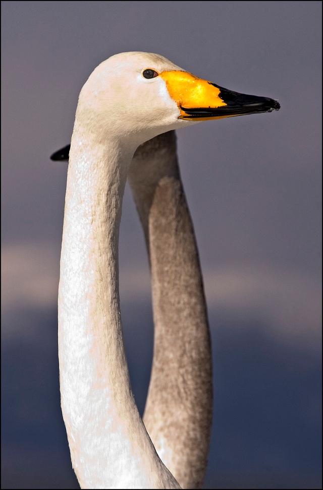 8426-swan-necks