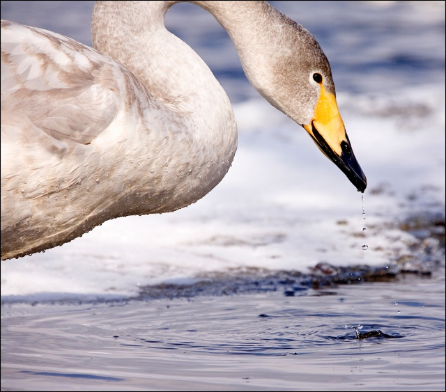 8439 whooper swan droplets.jpg