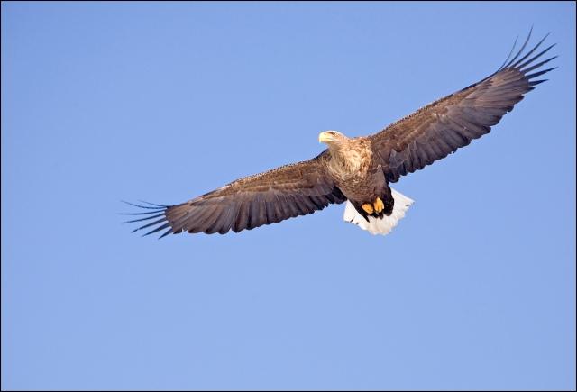 9094 white tailed eagle.jpg