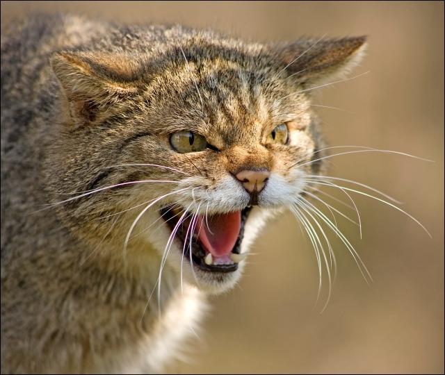 1458-scottish-wildcat
