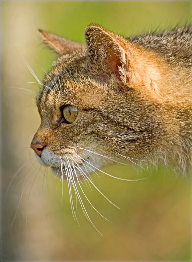 1463-scot-wildcat
