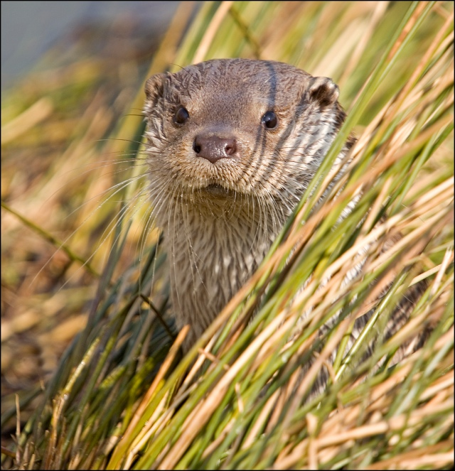 1499-otter-peeping-out-of-reeds