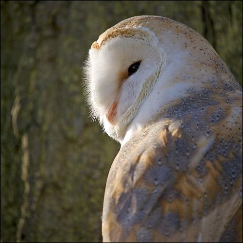 1676-barn-owl