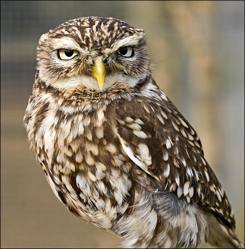 1702-little-owl