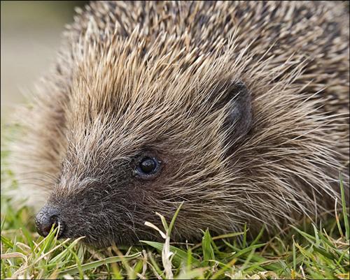 1797-hedgehog-500