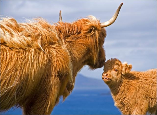 2522-mum-and-calf