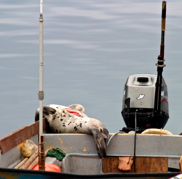 3260-dead-harp-seal