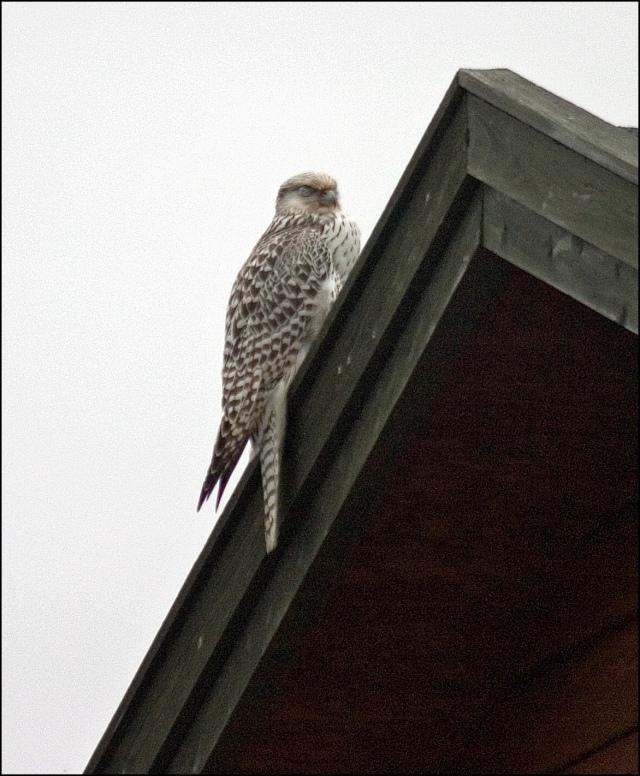 3356-gyr-falcon