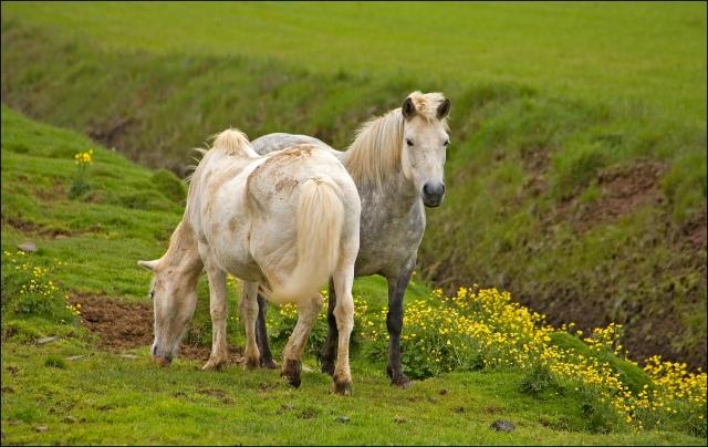 3932-icelandic-horses