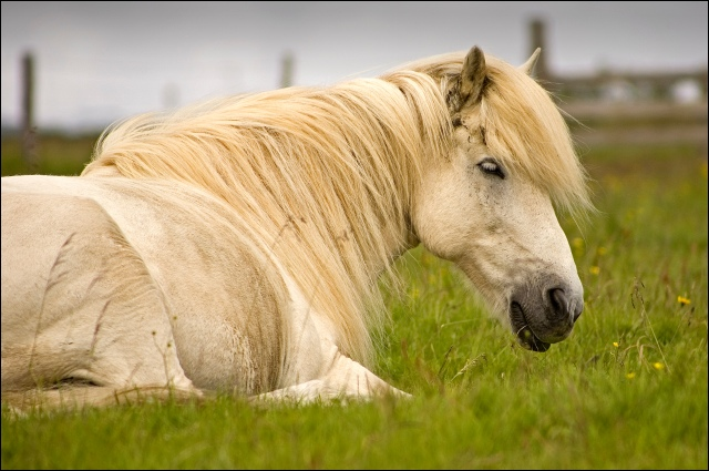 4465-white-horse-at-arbaer-folk-museum