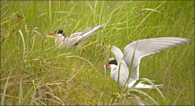 4518-two-terns