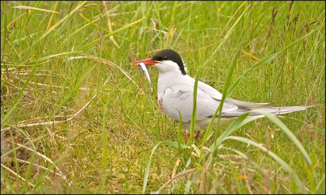 4520-tern-with-fish