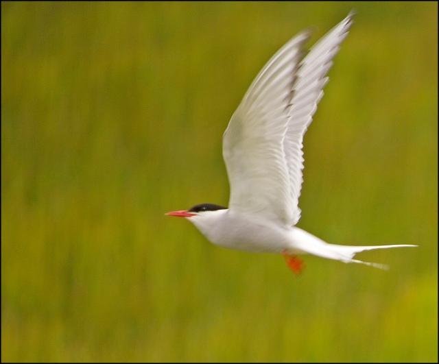 4529-arctic-tern