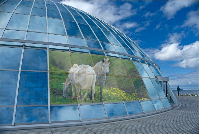 5116-the-pearl-and-icelandic-horse