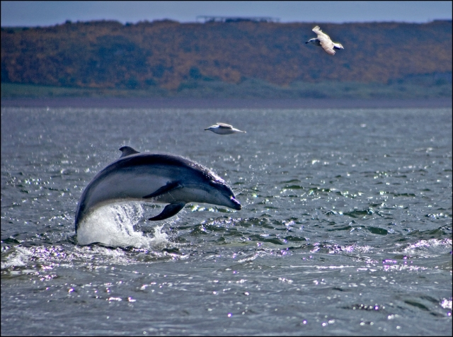 bottlenose-dolphins-of-the-moray-firth-by-a31