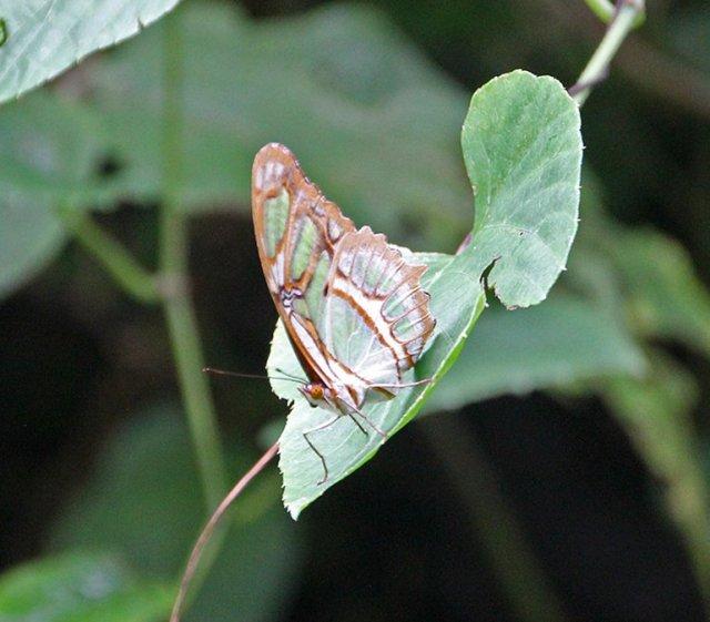 m_butterfly1