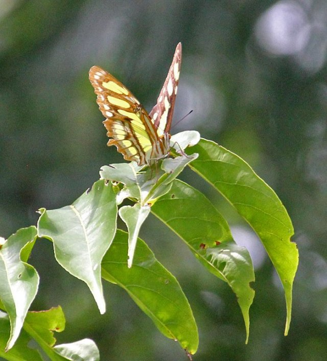 m_butterfly2
