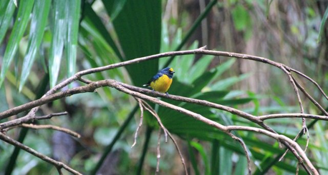 m_yellow-throated-euphonia