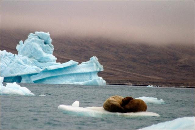 walrus-dozing