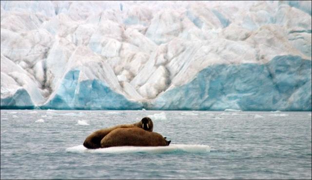 walrus-tusks-glacier