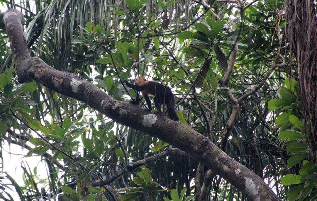 m_capuchin-monkey
