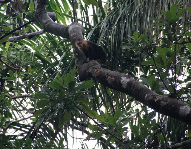 m_capuchin-monkey3