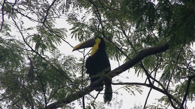 m_chestnut-mandibled-toucan