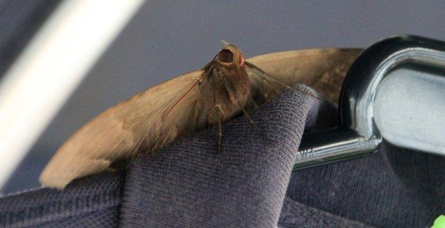 m_large-moth