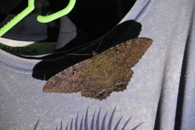 m_large-moth2