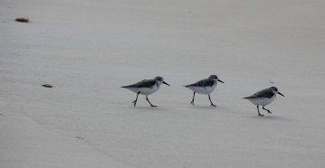 m_Birds on Barbuda