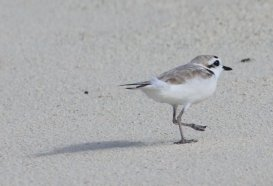 m_Birds on Barbuda2