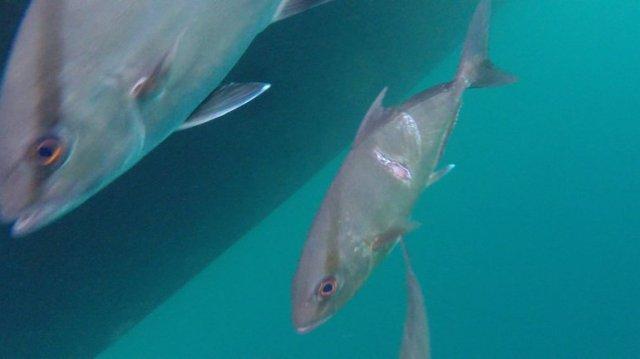 m_Scarred fish