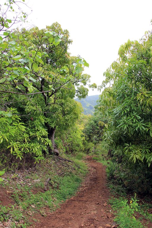 m_Mangi trees Anoho