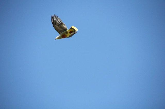 m_Prettiest pigeon Tahuata