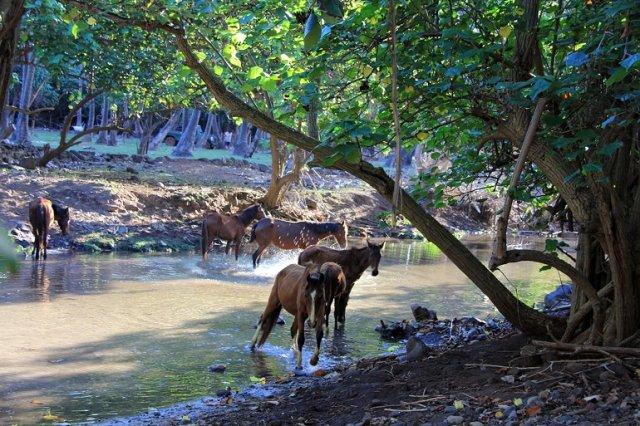 m_Ua Huka wild horses drinking