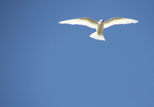 White Fairy Tern-squashed