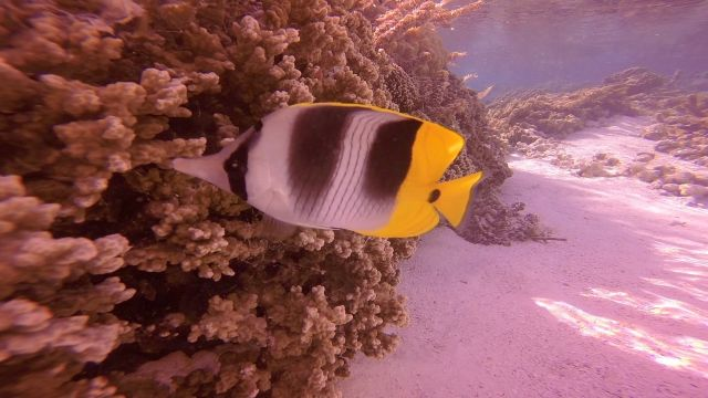 Butterfly Fish-squashed