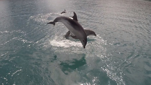 Dolphins leaping2
